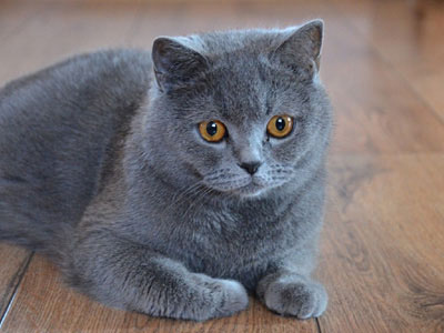 British-Shorthair-1.jpg